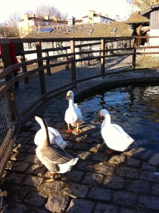 The duck pond at Surrey Docks Farm