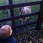Goat at Stepney City Farm