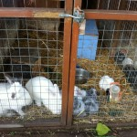 Rabbits and Guinea Pigs at Stepney City Farm